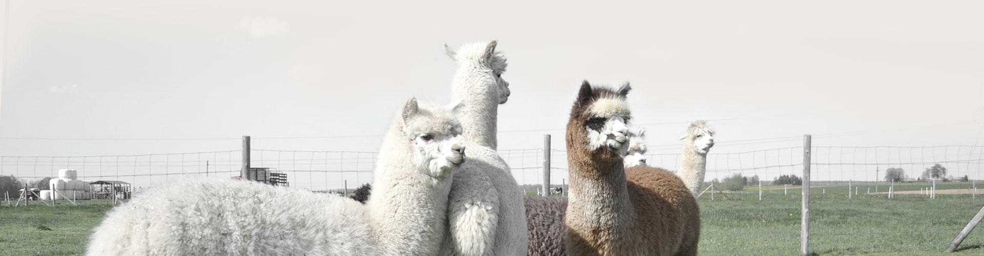 Alpakos