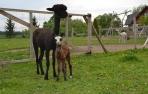 Veislinis alpakos patinas Peruvian Armando