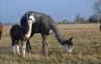 Alpakos patinas Silveris - PARDUOTAS