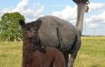 Alpakos patelė Leila su Lexi