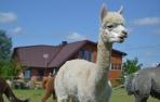 Alpakos patinėlis Magnatas-PARDUOTAS