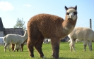 Veislinis alpakos patinas Peruvian ARMANDO (NAUJIENA)