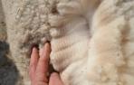 Veislinis alpakos patinas PAZ Peruvian Matador