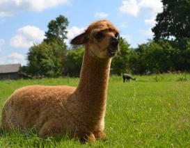 Jaunas alpakos patinėlis Muskatas