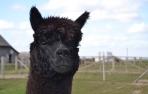 Alpakos patino PAZ Peruvian Jamiro vilnos siūlai