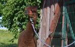 Alpakos patino Merkelio vilnos siūlai