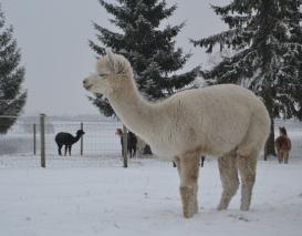 Jauna alpakos patelė Sniegutė