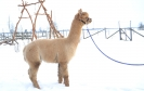 Veislinis alpakos patinas PAZ Peruvian Sebastian (NAUJIENA)