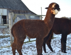 Jaunas alpakos patinėlis Peruvian Gismo