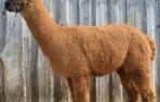 Alpakos patinas Sidas