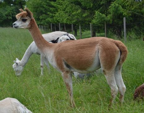 Alpakos patelė Voveraitė