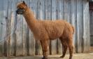 Veislinis alpakos patinas Sidas (NAUJIENA)
