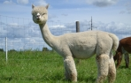Alpakos PAZ Peruvian Manja vilnos siūlai