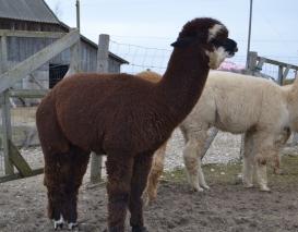 Jaunas alpakos patinas AS Peruvian Gismo