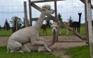 Veislinis alpakos patinas PAZ Peruvian MATADOR (parduodamas)