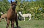 Jaunas alpakos patinėlis AS Tasman