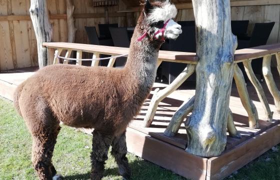 Veislinis alpakos patinas Peruvian ARMANDO (parduodamas)