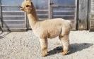 Veislinis alpakos patinas PAZ Peruvian SEBASTIAN