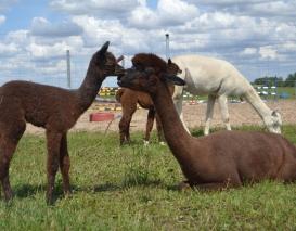 Alpakos patelė AS Mocca su jaunikle