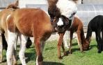NAUJIENA! Alpakos patinėlio AS Peruvian Pinto vilnos siūlai