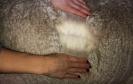 NAUJIENA! Veislinis alpakos patinas Flanders NICOLAS ET