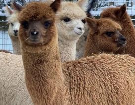 Alpakos jauniklė AS Peruvian Toscana
