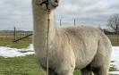 Veislinis alpakos patinas PAZ Peruvian AYOYANO JUNIOR
