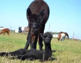 Alpakos patelė AS Peruvian Casandra